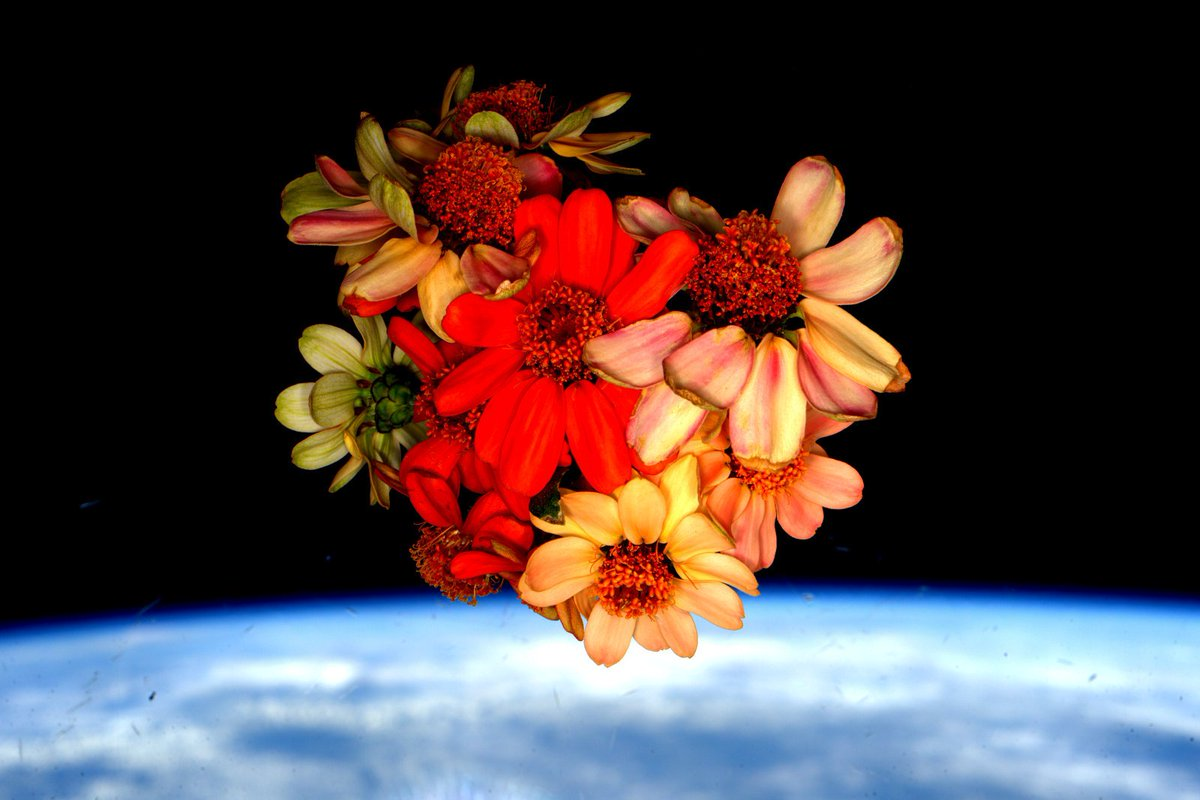 Bouquet of zinnia flowers grown on the International Space Station