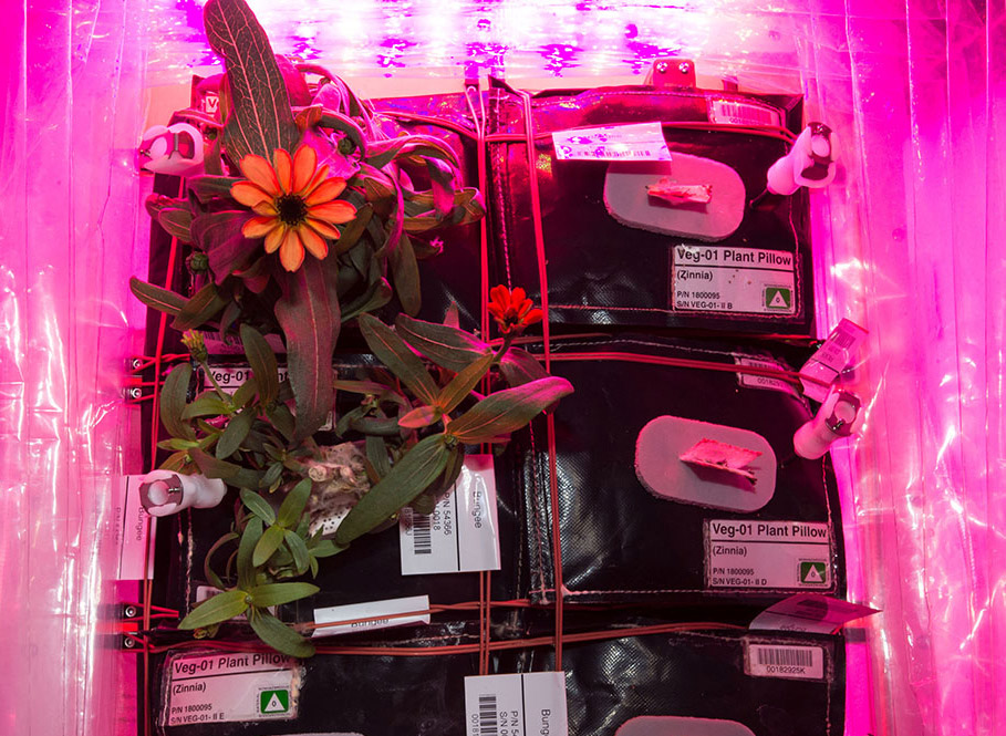 zinnias in veggie on ISS2